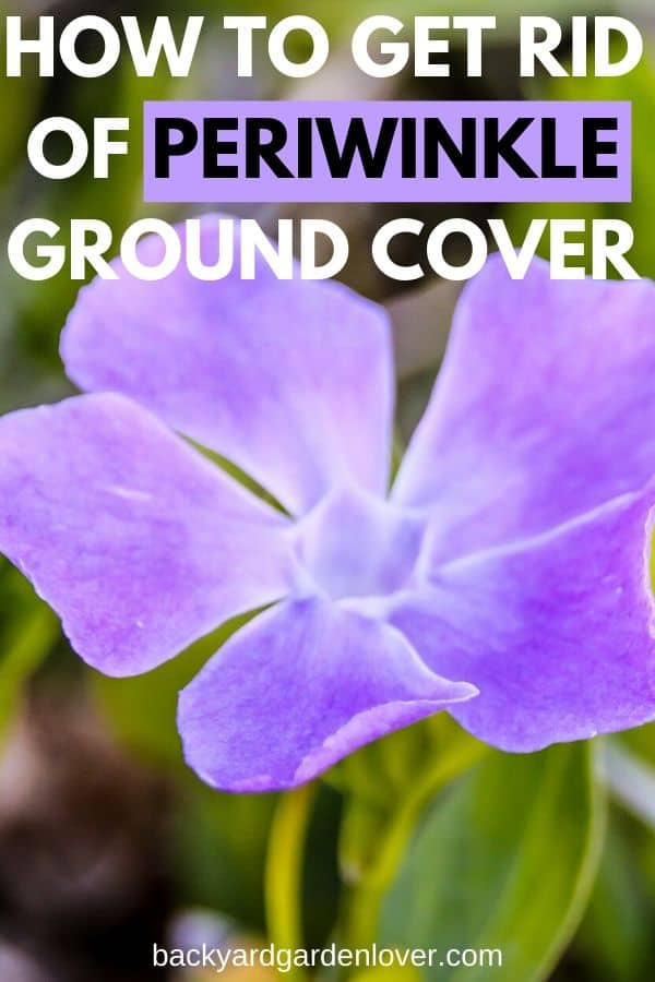 Has periwinkle invaded your yard? Learn how to get rid of periwinkle from the yard, but still enjoy its beautiful flowers around your house. #periwinkle #groundcovers #invasiveplants #weeds #getridofperiwinkle #landscaping #containergarden