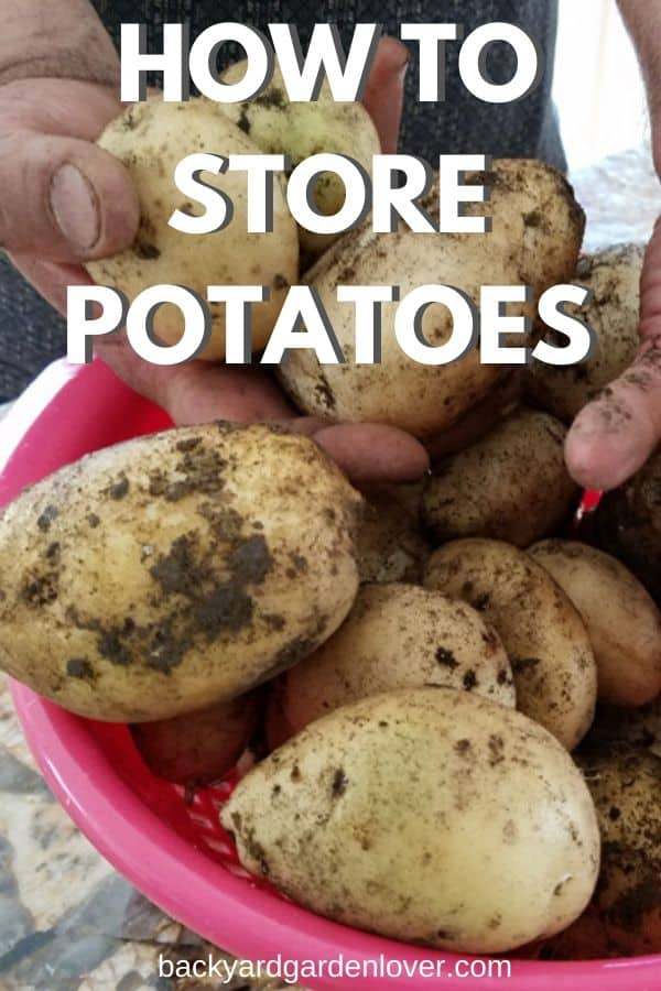 Got a nice potato harrvest this year? Here's how to store potatoes long term. Find out about storing in the kitchen, pantry, fridge, freezer and more. #potatoes #potatoharvest #harvest #organic #homesteading #gardening
