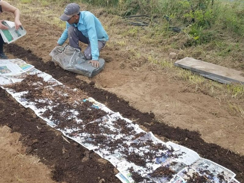 Laying down newspaper between asparagus rows