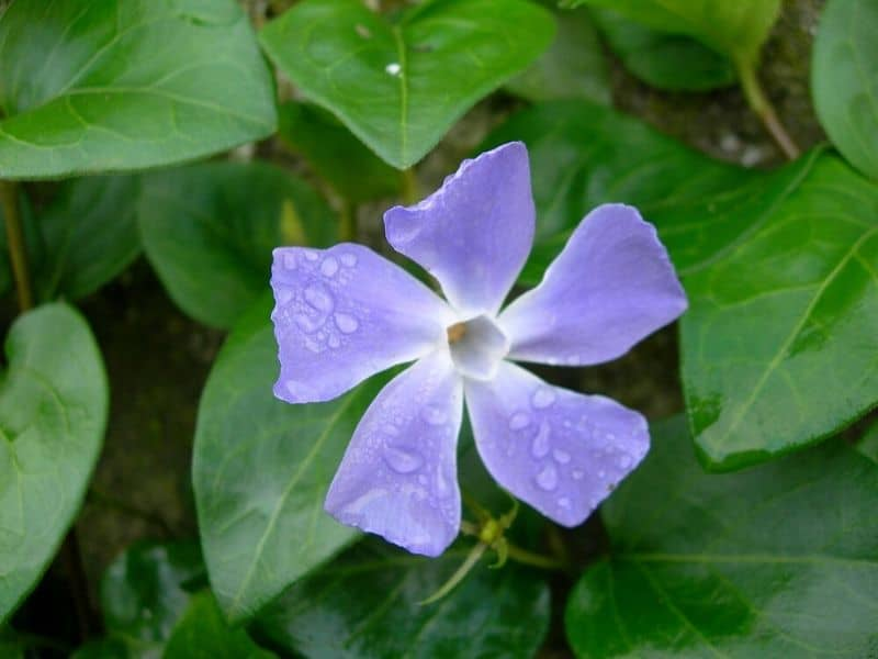 Blue lavender periwinkle flower