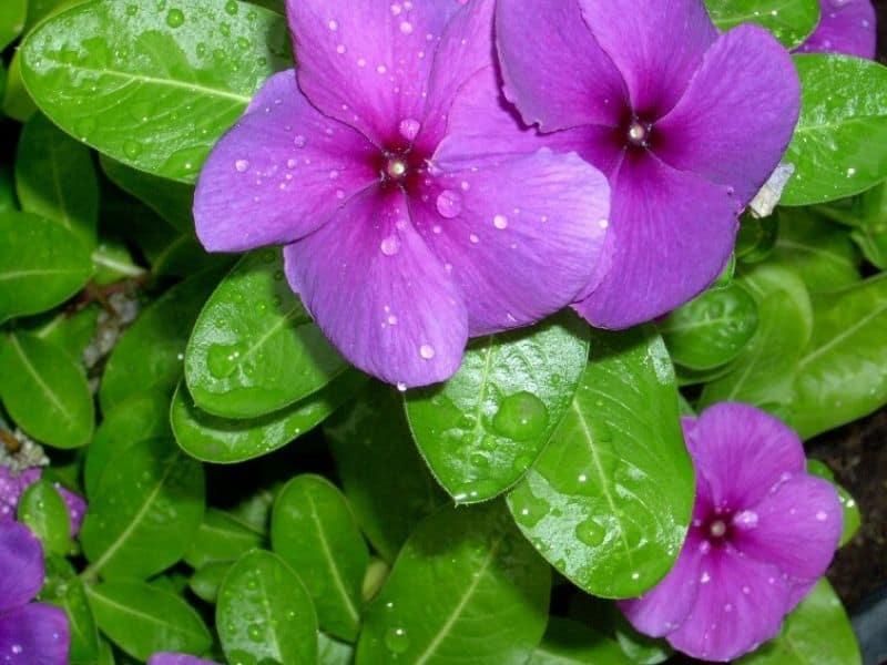 Pretty periwinkle flowers