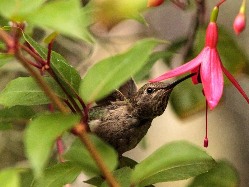 Annas Hummingbird drinking from a bleeding heart flower