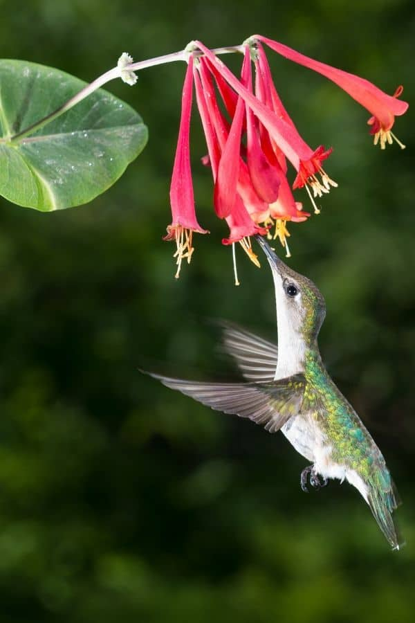Female Ruby Throated Hummingbird enjoying coral red honeysuckle