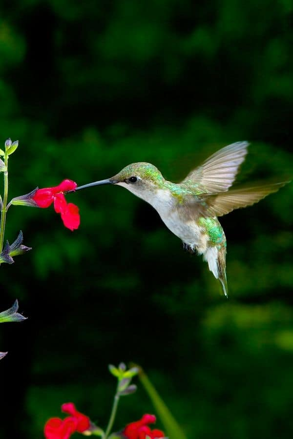 Female ruby-throated hummingbird feeding at red salvia