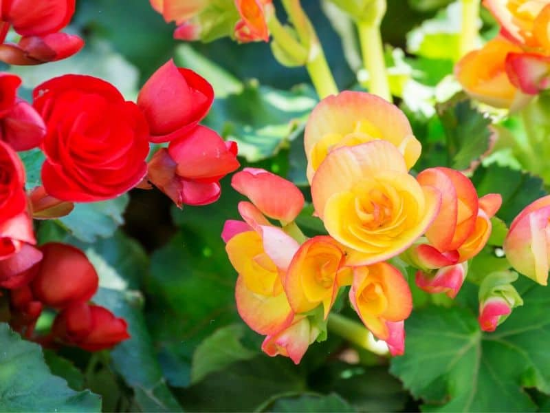Red and yellow begonia flowers