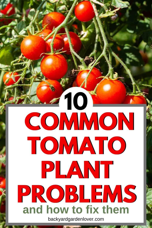 10 Common tomato problems