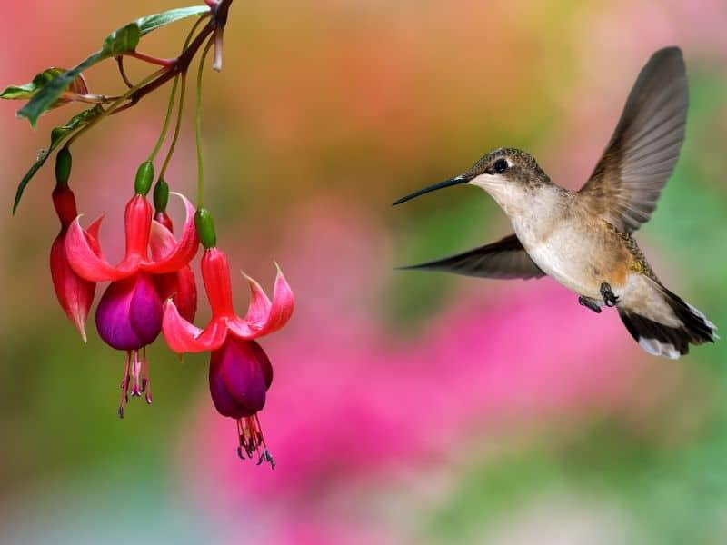 Hummingbird with fuchsia flowers