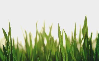 Best Drought Resistant Grass