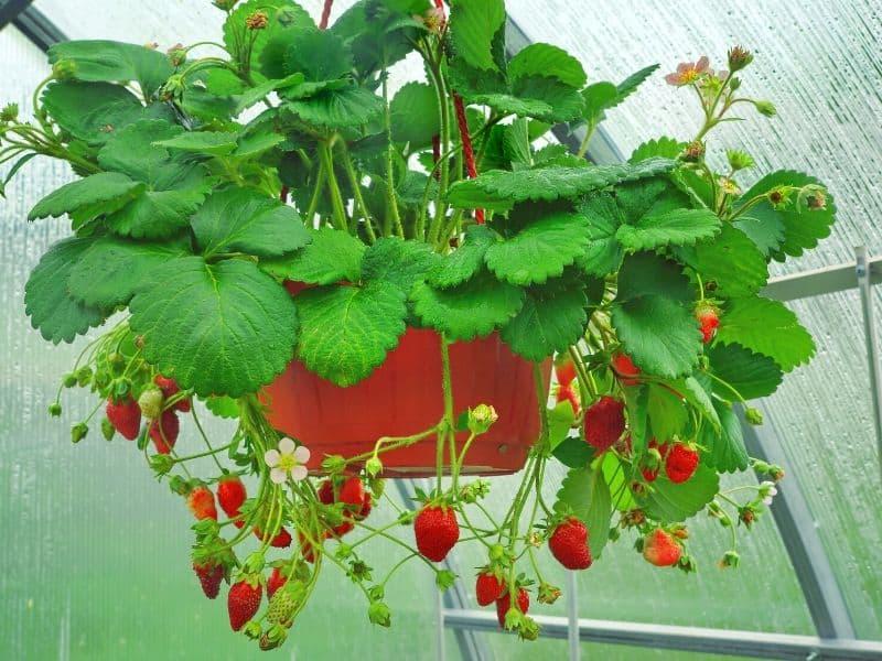 Hanging strawberries basket