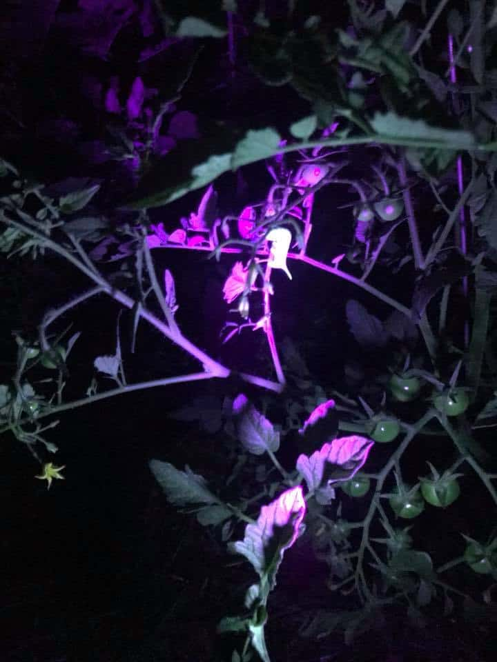 Checking for hornworms with a black light flashlight