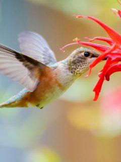Hummingbird drinking from a red monarda flower