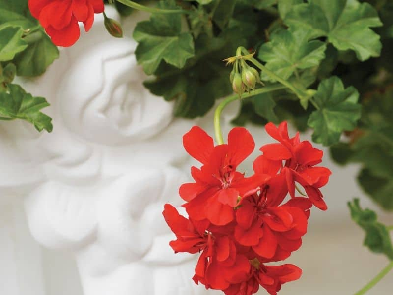 Red ivy geranium flowers