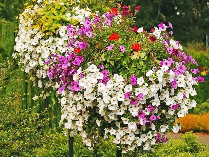 Petunias in hanging baskets