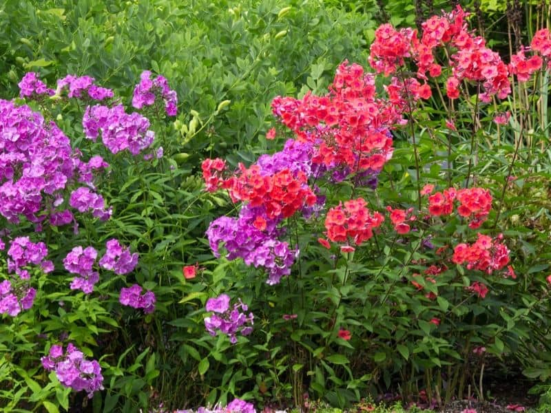 Purple and red phlox in the garden