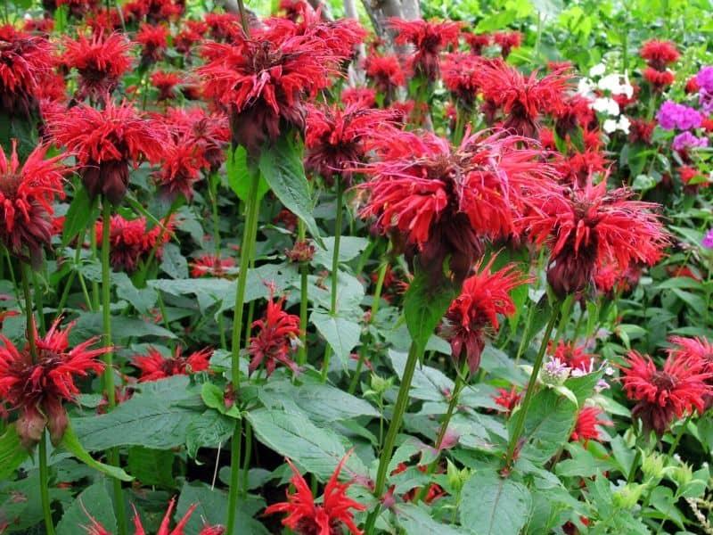 Red monarda flowers