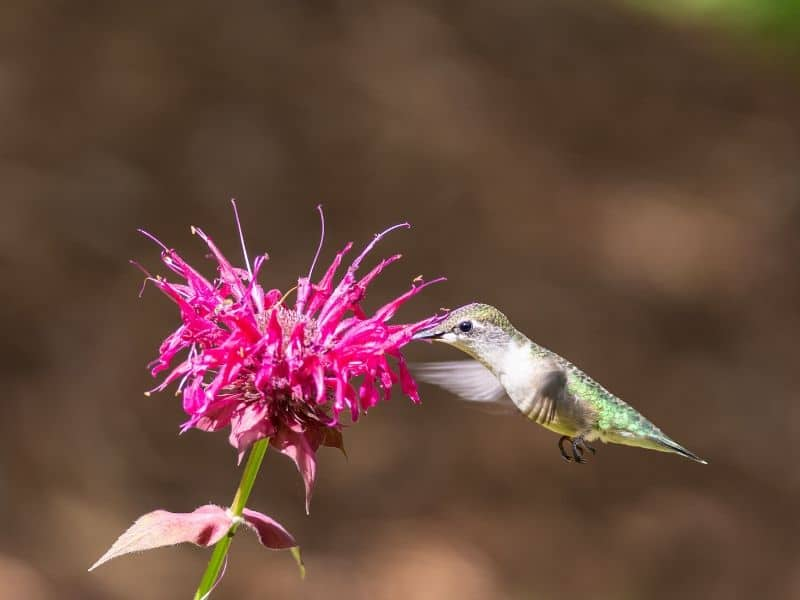 Ruby-throated hummingbird feeding from a bee balm flower