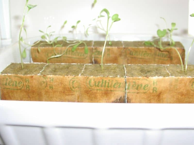 Seedlings started in Rockwool Cubes