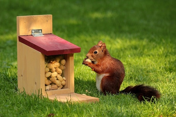 A squirrel eating a peanut in front of a squirrel feeder