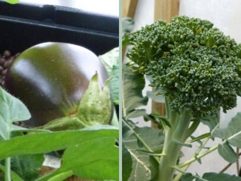 Eggplant and broccoli grown in our hydroponic garden