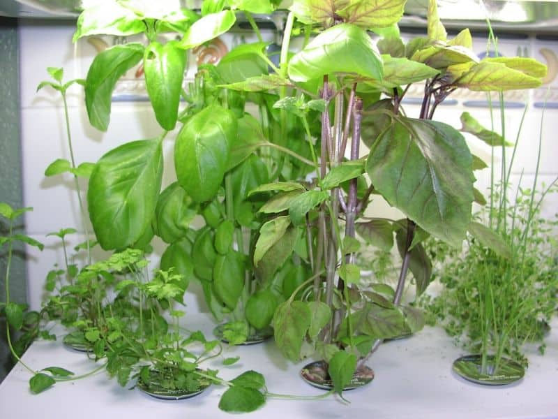 Herbs grown in the hydroponic system