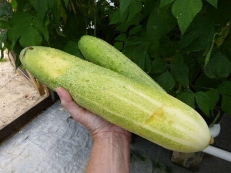 Large cucumbers