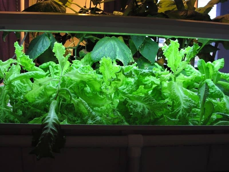 Lettuce raft production