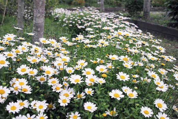 Feverfew flowers field