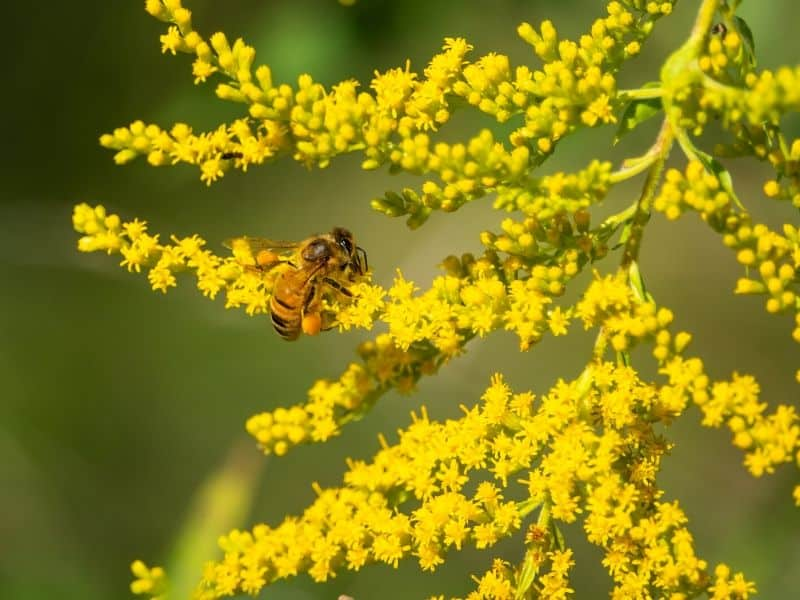 A bee working on a Goldenrod plant, filled with yellow flowers