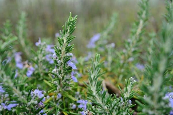 Rosemary flowering plants
