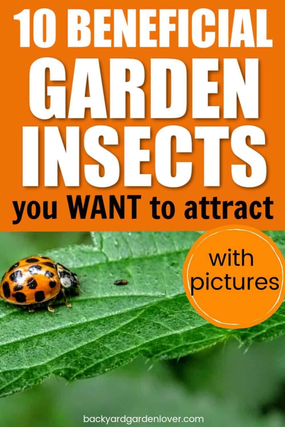 Ladybug, one of the best beneficial garden insects