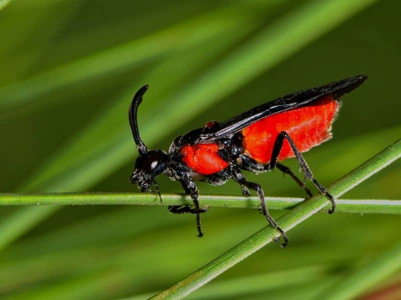Red and black braconid wasp