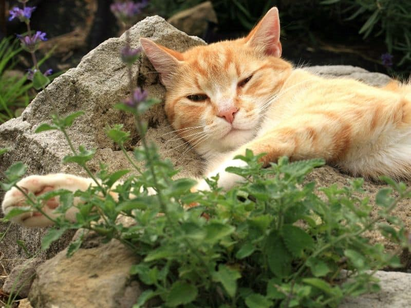 A cat lying on top of a rock with a catnip plant next to it