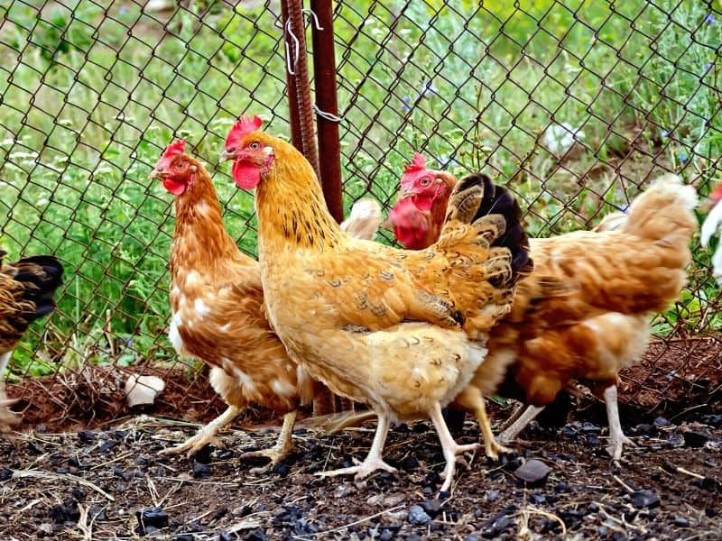 A group of chickens standing in a fenced-in area