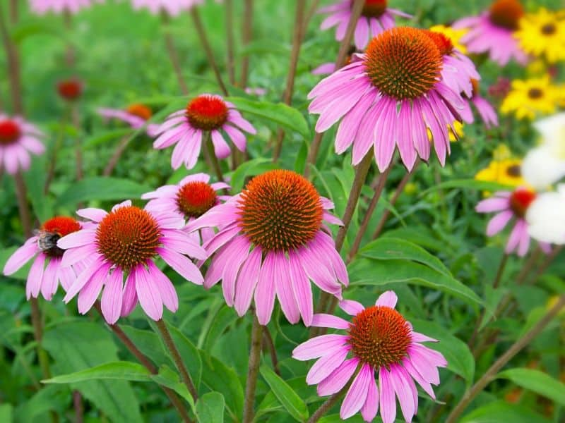 Coneflowers (also known as purple echinacea)