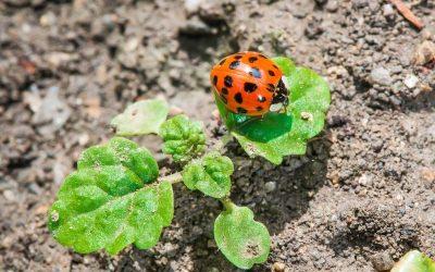 Ladybug in the garden
