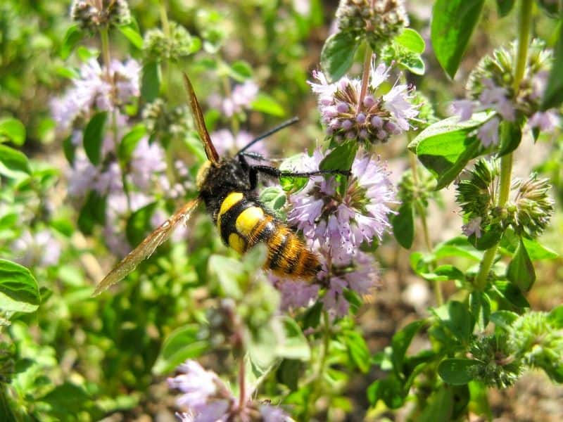 A bee on top of a Pennyroyal plant full of blooms