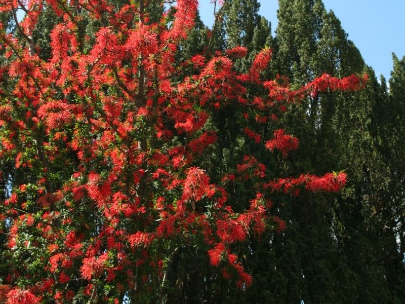 Chilean Fire Bush