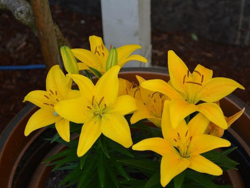 Bright yellow Lilium Connecticut King