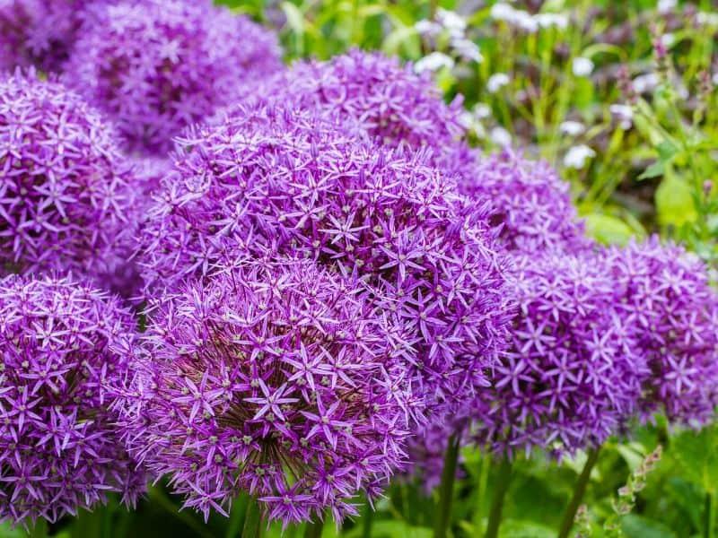 Purple allium globes