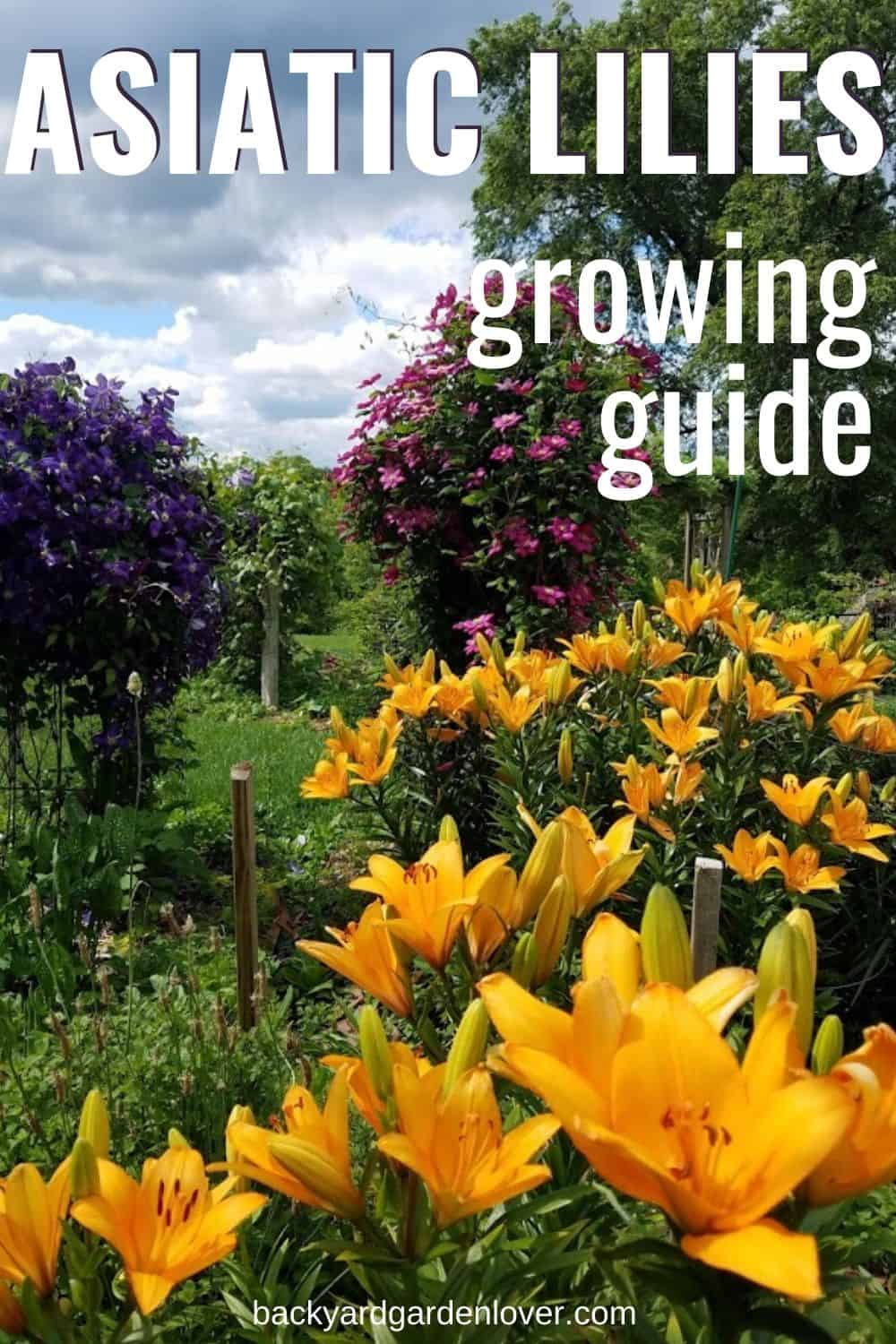 Asiatic lilies growing guide