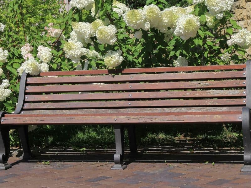 Brown bench surrounded by white hydrangea flowers