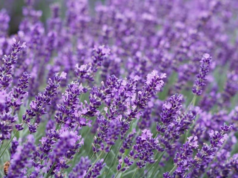 Beautiful blooming lavender flowers