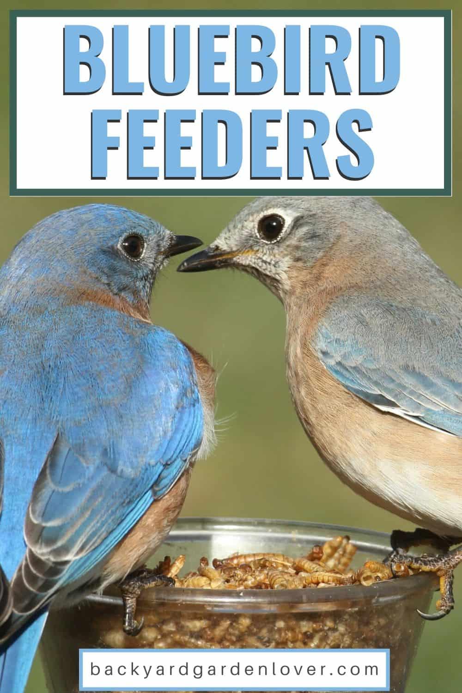 Bluebirds sitting on mealworm feeder