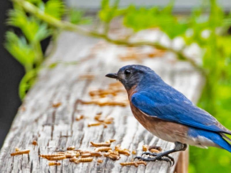 Bluebird perched on a mealworm feeder