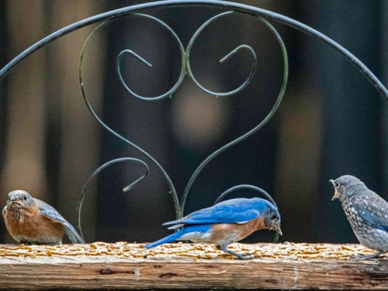 Bluebirds at the mealworm feeder