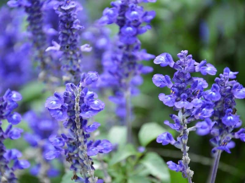 Purple Bugleweed flowers