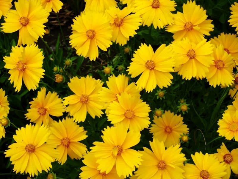 Yellow coreopsis flowers