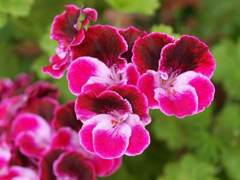 Pink Cranesbill geraniums