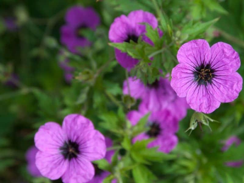 Geranium Rozanne pink flowers