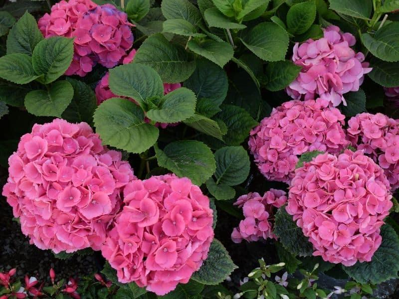 Hot pink hydrangea flowers